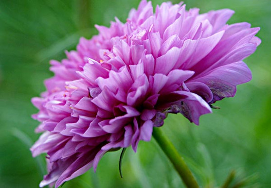 close up of a ruffly pink flower in profile