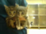 volunteer holding two kittens about to be put in a cage at animal shelter