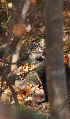 Grey tabby community cat in the woods
