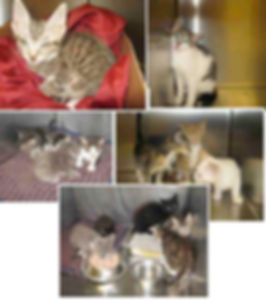several photos of mother cats and kittens turned in to animal shelter, some are visibly unwell
