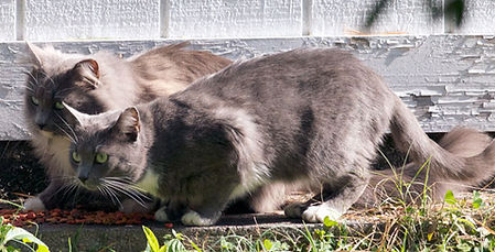 two community cats eating food given by their colony caretaker
