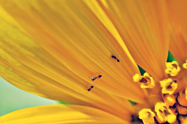 close up of ants on yellow zinnia petals in an Italian garden