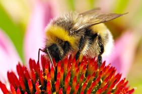 coneflower bee