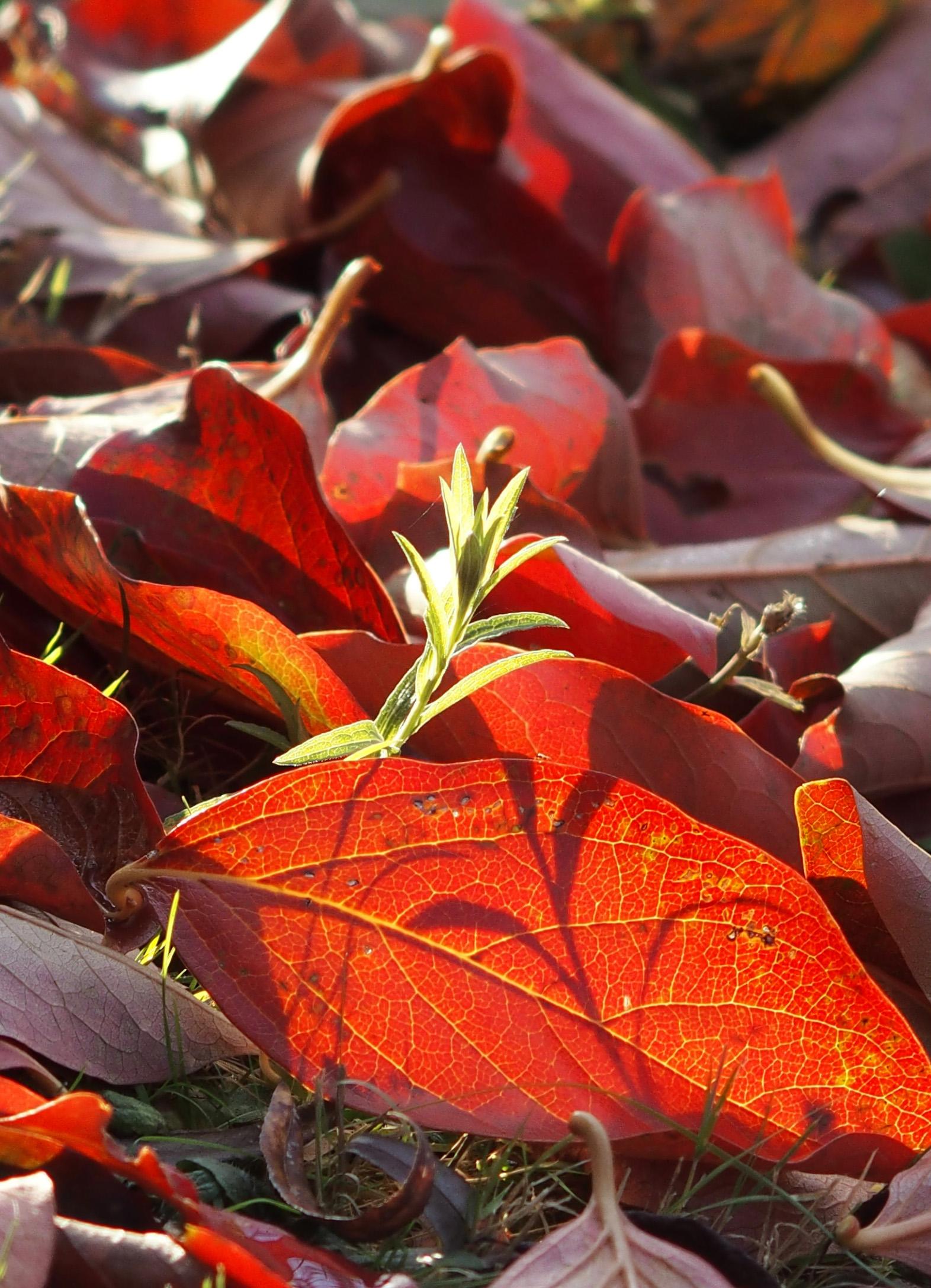 Red leafs 2 detail.jpg