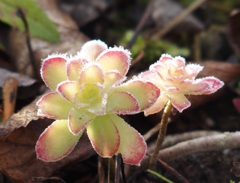 frozen flower detail.jpg