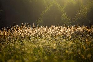 meadow, sunlight, trees