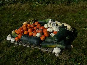 permculture vgetables, marrows, pumpkins