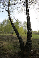 birch trees, lanscaping