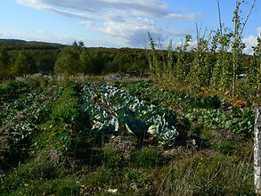 cabbages, permaculture garden