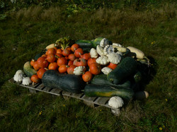 harvest, permaculture vegetables