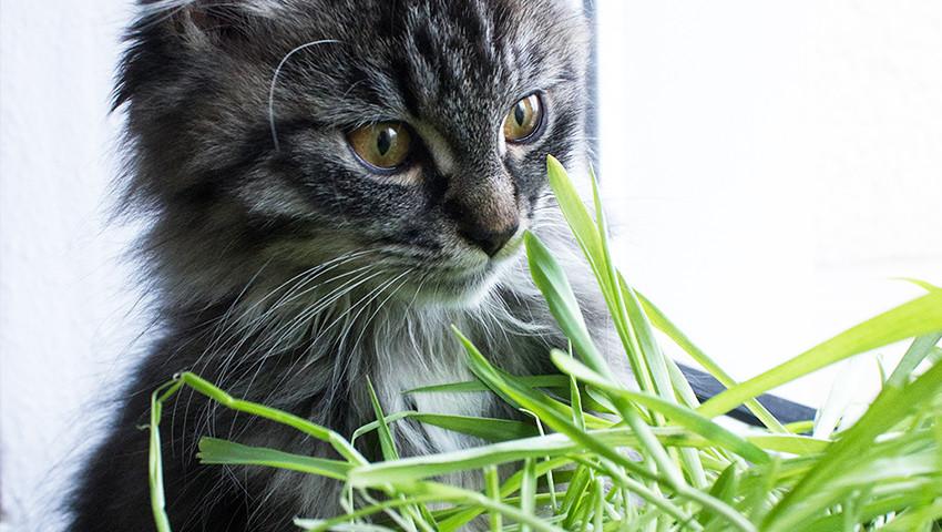 Kitten catgrass catplants not toxic