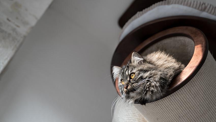 Kratzbaum Deckenspanner für große Katzen sibirische Waldkatze