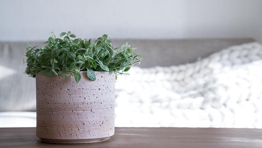Fittonia albivenis cat plant not toxic