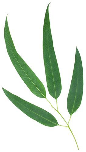 500px_citriodol_eucalyptus.jpg