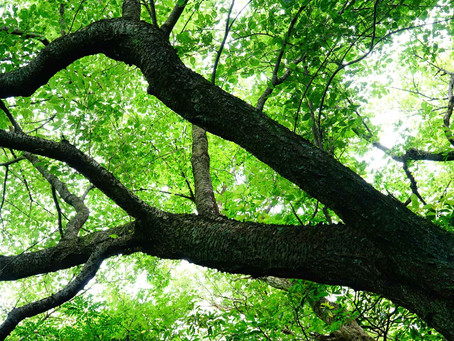 ケヤキの木の伐採