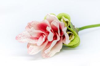 Curcuma (Pink)