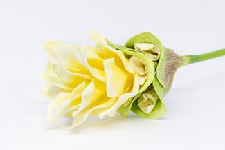 Curcuma (Yellow)