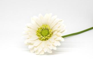Gerbera (White)