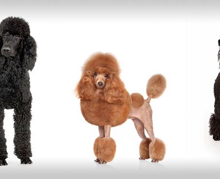 """Don't Poodle my Doodle!"" Why that's not a helpful grooming tip and what to say instead."