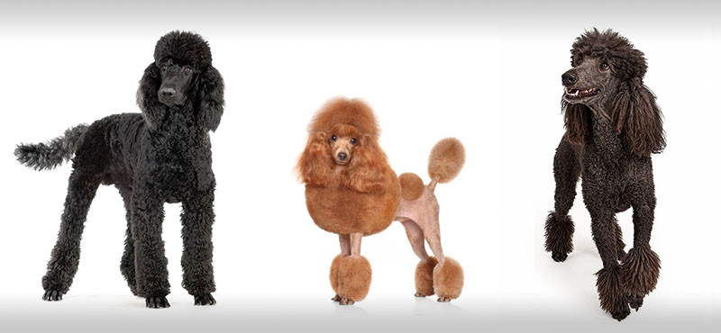 3 poodles with different types of cuts at the dog groomers