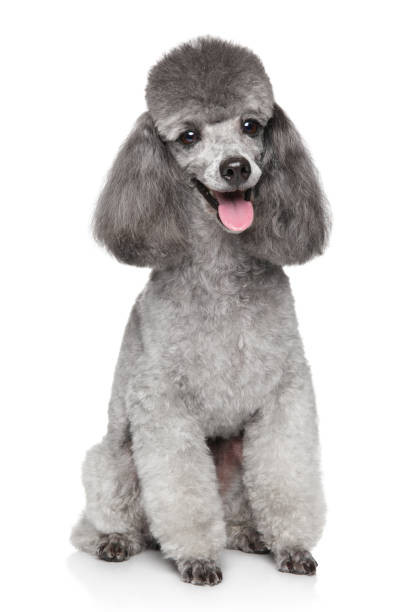 Groomed Poodle with shaved face and feet, fluffy and rounded top knot and long fluffy ears