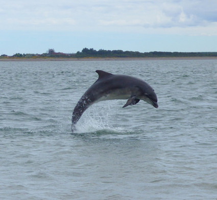 Dolphin in Moray Firth