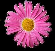 ピンクのデイジー