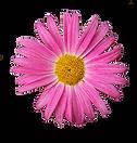 Daisy rosa