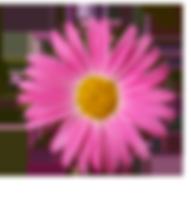 roze Daisy