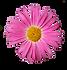 Pink Daisy