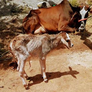 Desi Cow With Calf