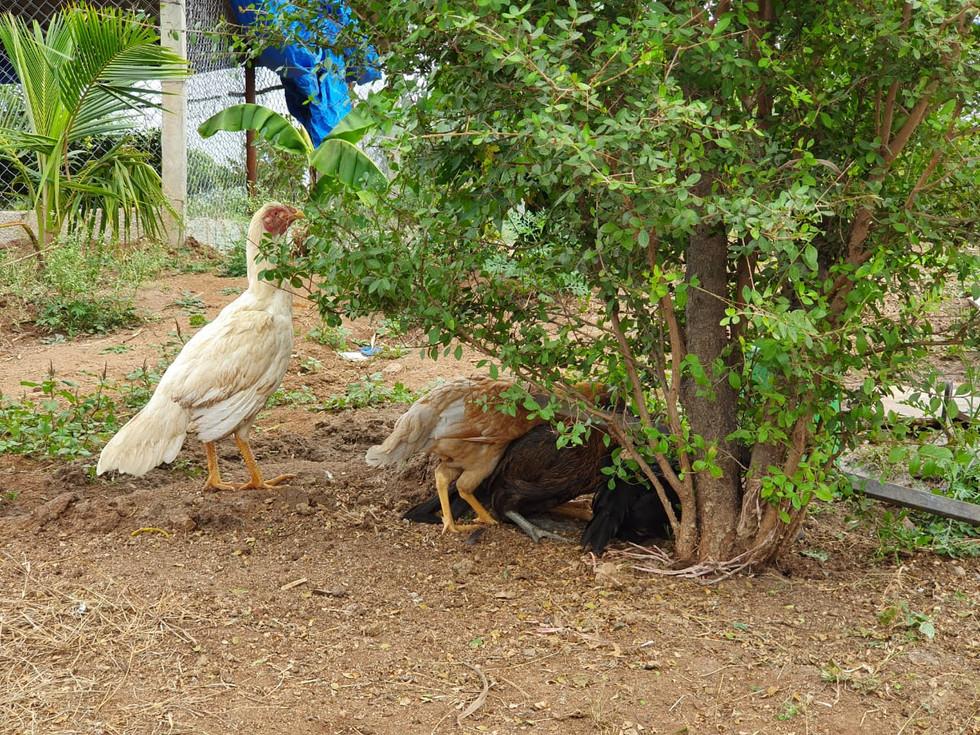 Aseel hen foraging