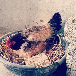 aseel nesting hen