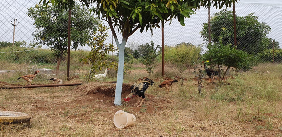 foraging-hen.jpg