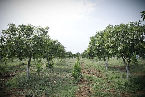 mango-orchard-hyderabad_edited.jpg