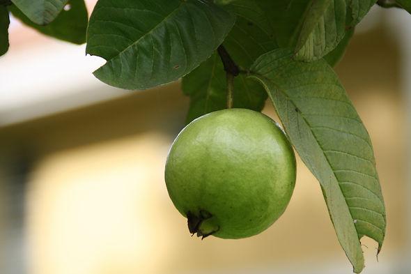 Oraganic Guava Hyderabad