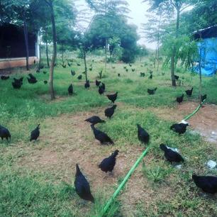kadaknath-flock-free-range.jpg
