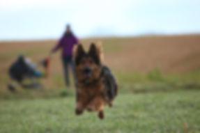 Schäferhund im Sprung