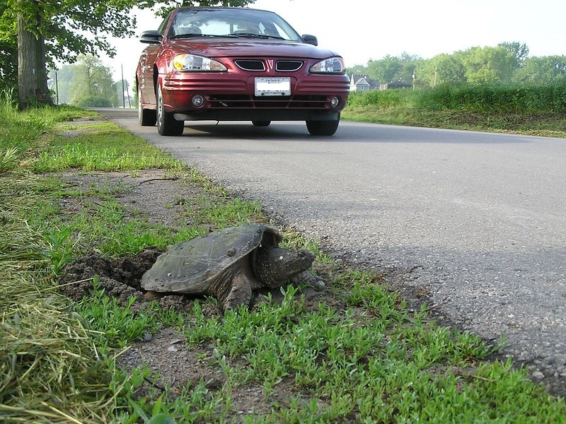 Turtle laying eggs by the roadside