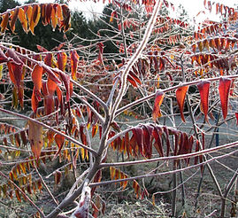 Image of Sumac with Frost