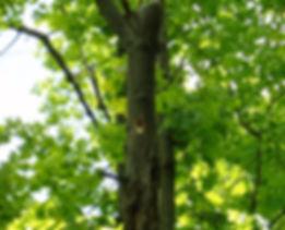 Hairy Woodpecker at nest.JPG