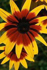 Amarillo y rojo de la flor