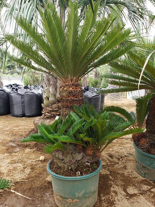 ソテツ 鉢植え・地植え 対応