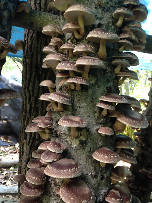 Springtail Farm Mushroom Share