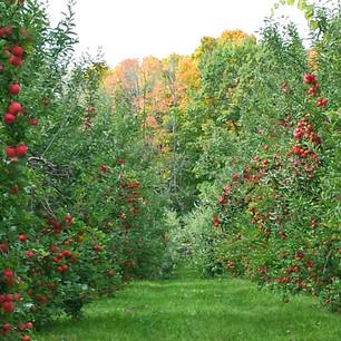Fall Apple Trees