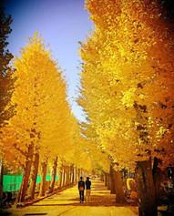 秋の銀杏並木