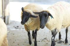 学内にいる羊/顔が黒いサフォーク種