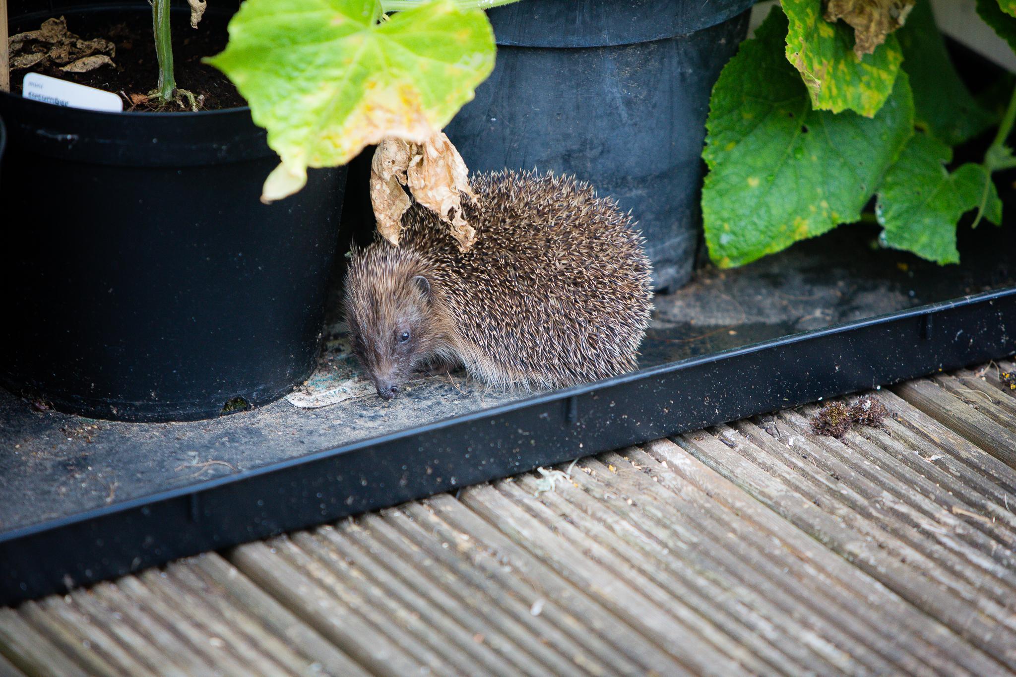 30 days wild hedgehog
