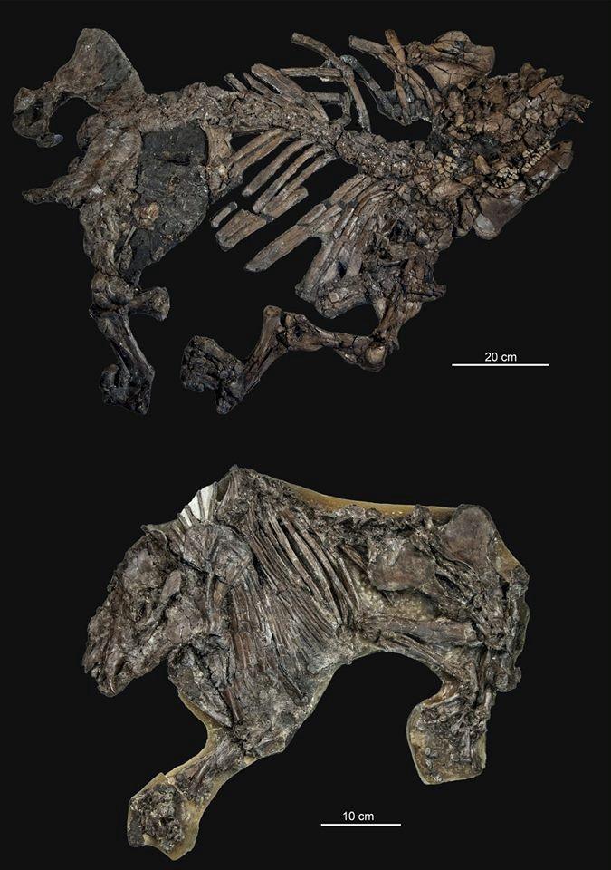 Különösen szerencsésen fosszilizálódott csontvázak a geiseltali lelőhelyről: az ősi tapír, aLophiodon (fent) és az őslóPropalaeotherium(lent). (Fotó: Oliver Wings)