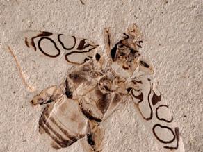 Páratlan szépségű rovar-fosszília az amerikai eocénből